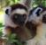 Dancing Verreaux sifika lemurs at Berenty Reserve Madagascar