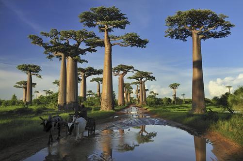 Morondava Viale dei Baobab