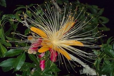 fiore di baobab