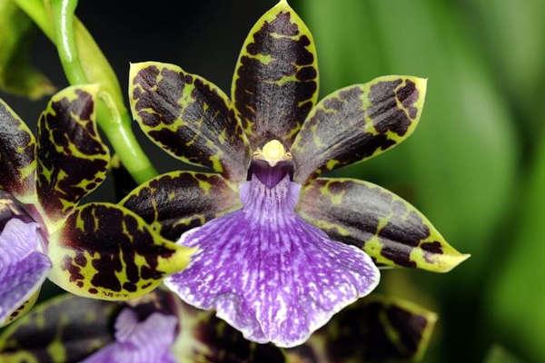 Orchidee Madagascar